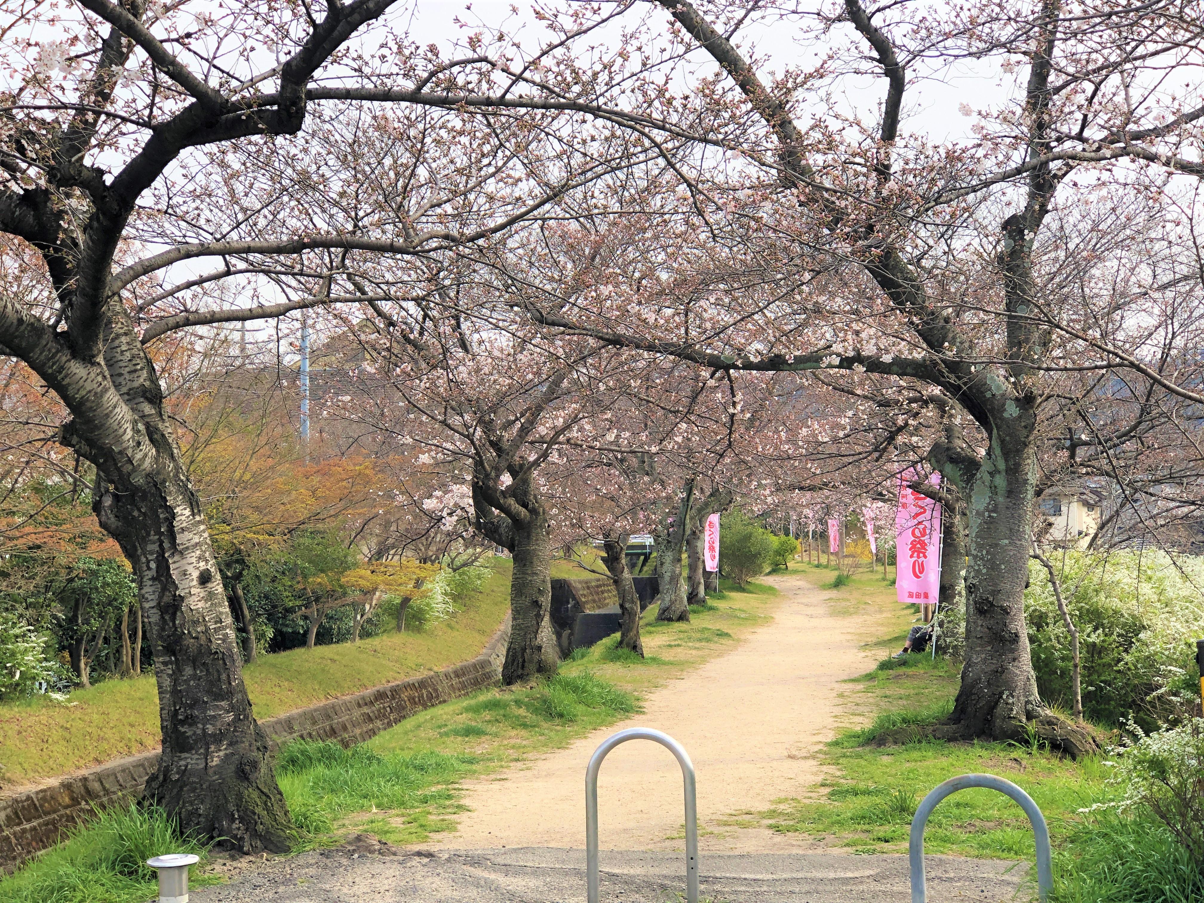 妙見の観桜